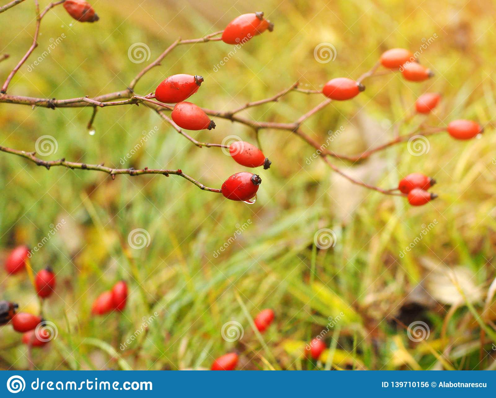 Close-up of dog-rose berries. Dog rose fruits Rosa canina on the blurred green grass. Wild rosehips in nature. Sunrise over Red