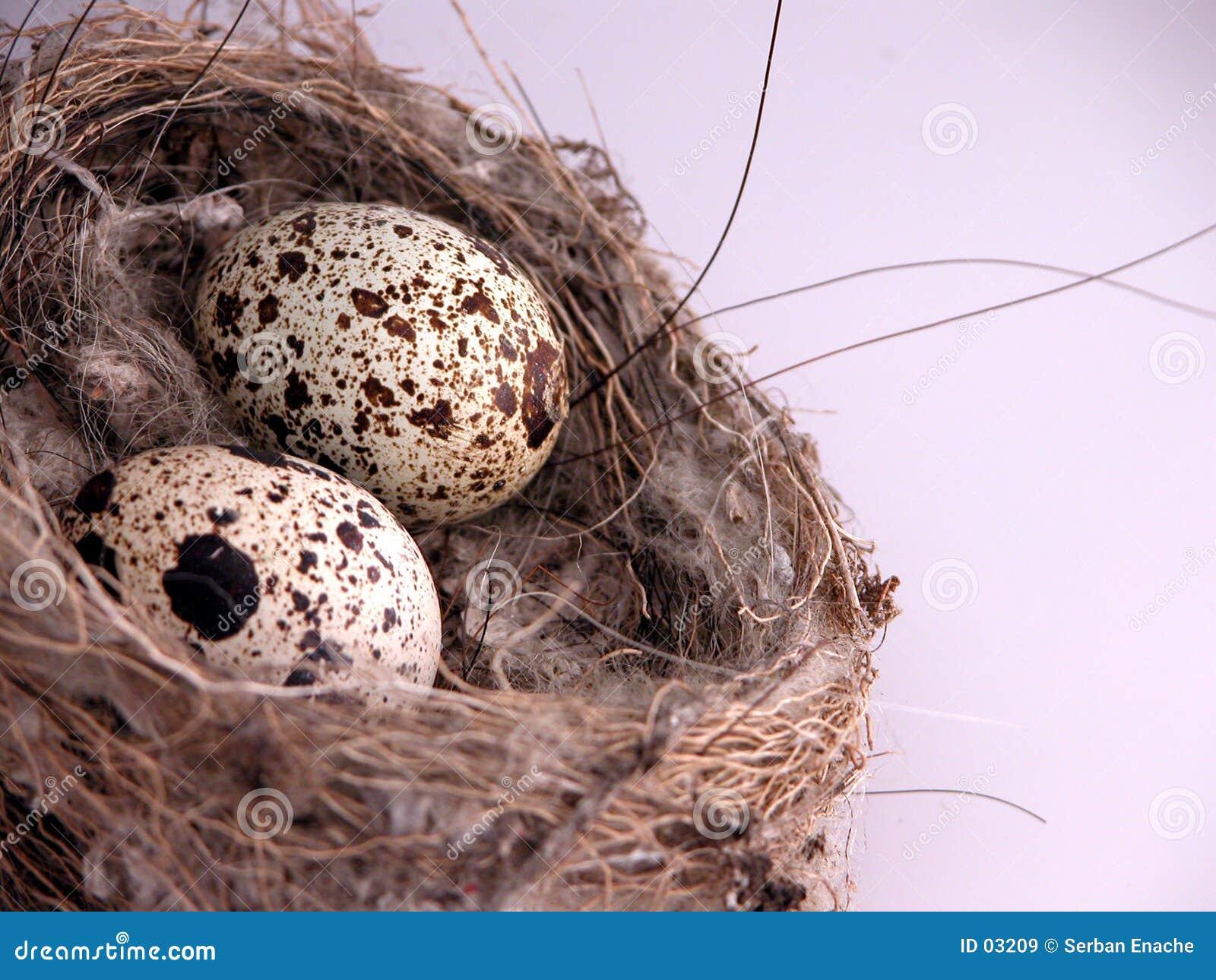 Close up dos ovos no ninho