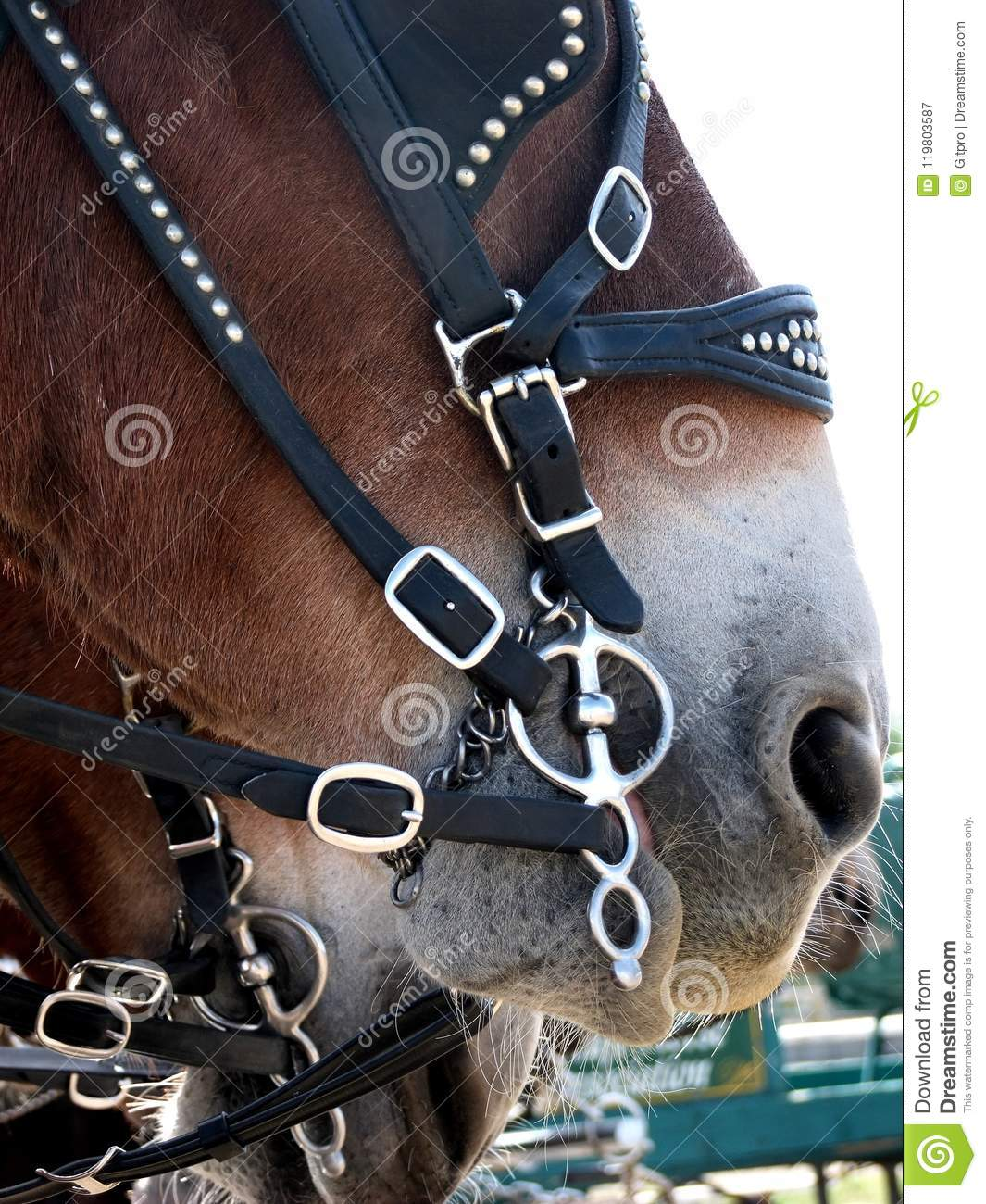 Close Up Of Draft Horse With Harness Bit Stock Image Image Of Halter Show 119803587