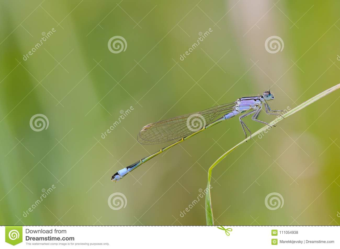 Close up of dragonfly. Blue-tailed damselfly, Czech republic.