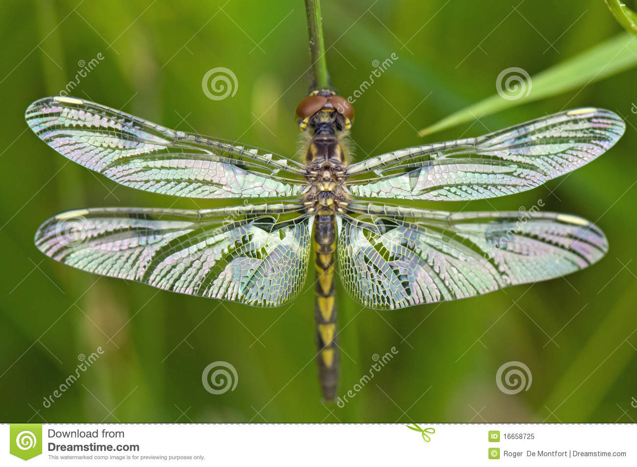 Close up of dragonfly, wings outstretched