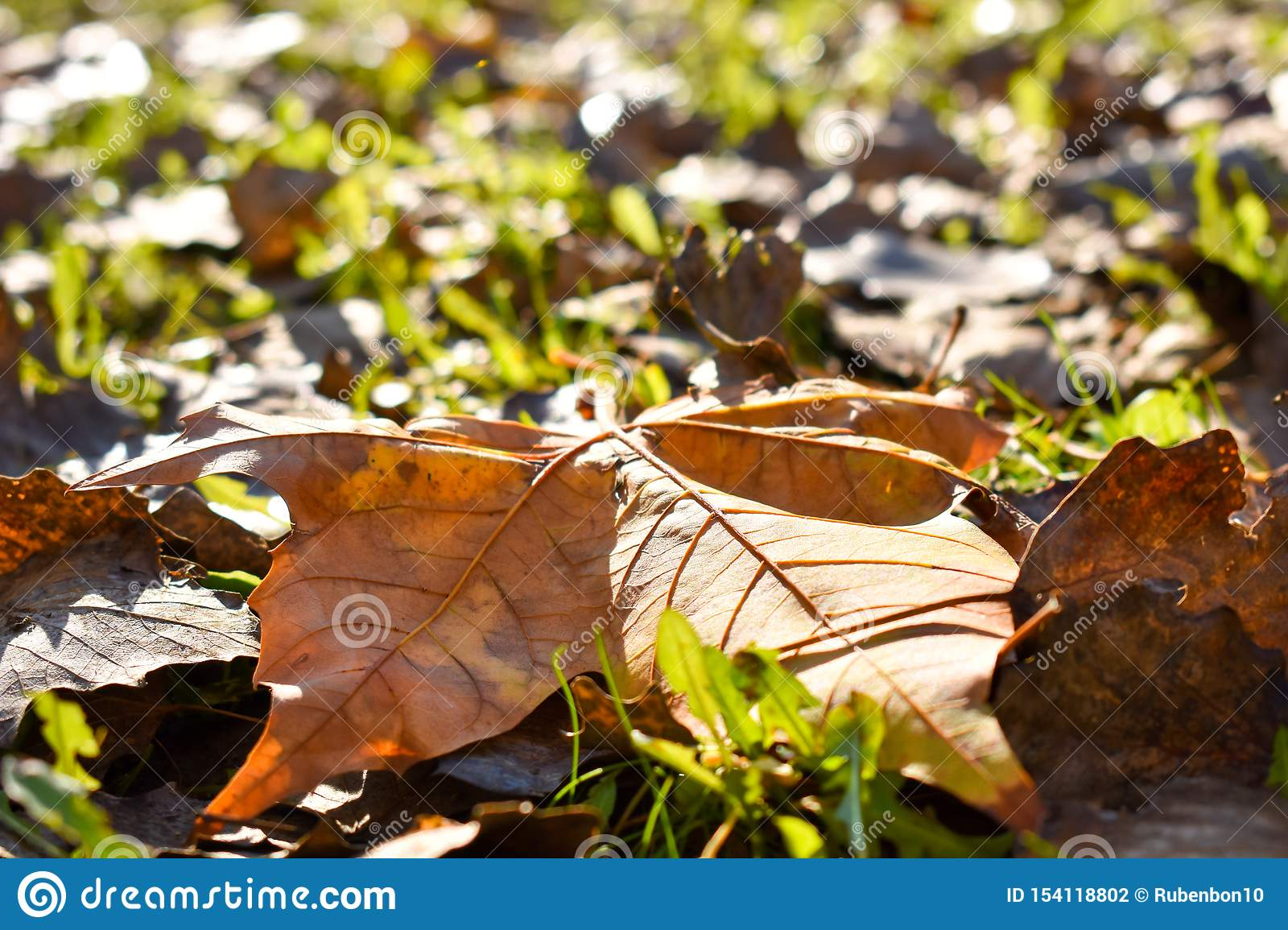 close up of a dry maple orange leaf on the green grass in a scene of a fall day. The leaf has fallen on other dry leaves and the