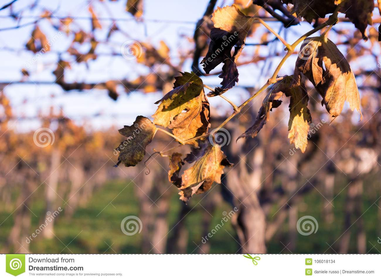 Close Up Of Dry Wine Leaves On Blur Background In An Autumn Day