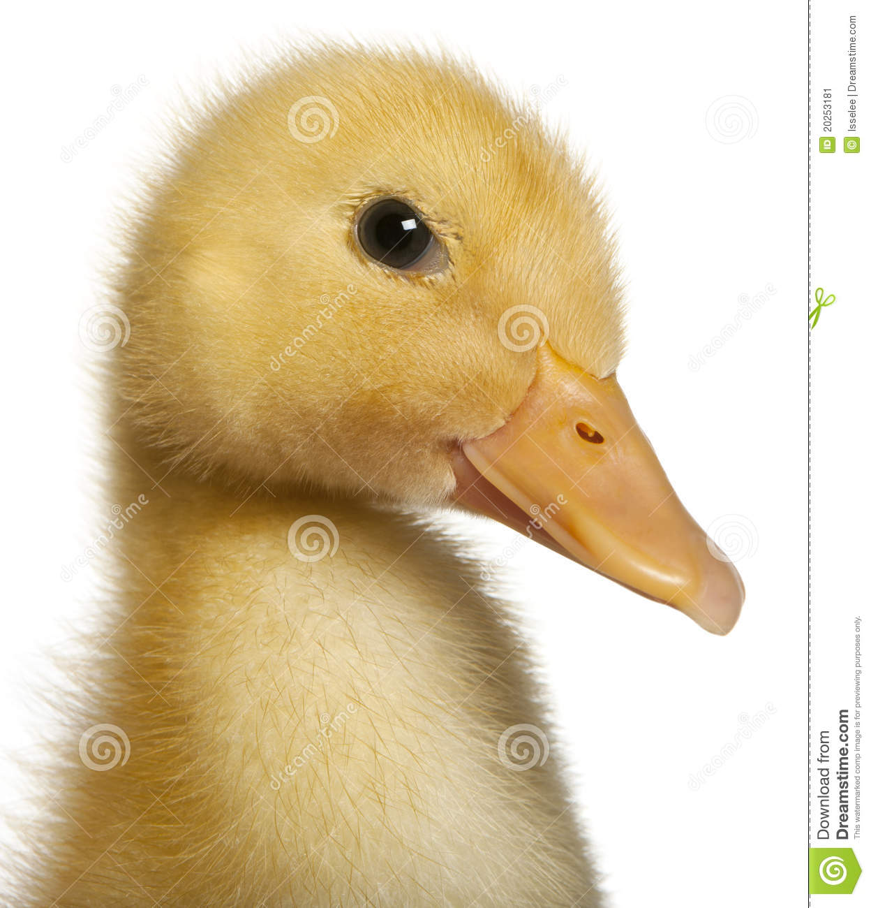 Close up Of Duckling 1 Week Old Stock Image Image 20253181