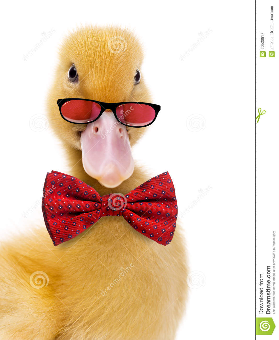 Close Up Of A Duckling Wearing Glasses And A Bow Tie Stock