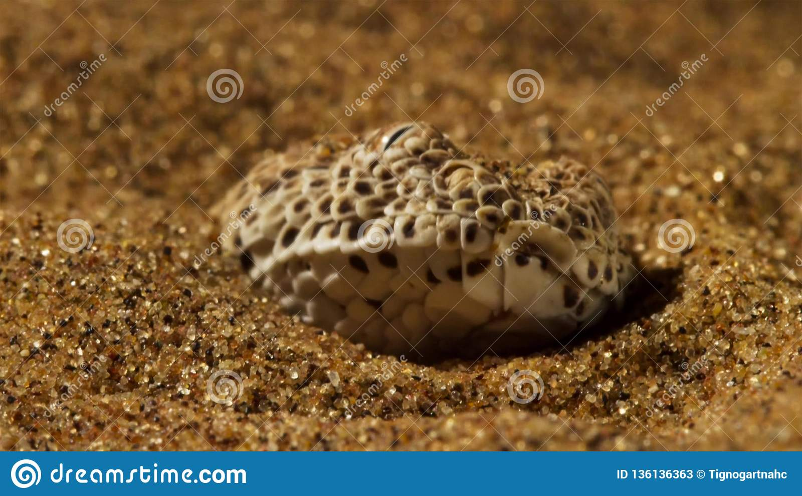Close-up Of A Dune Adder Or Sidewinder Snake Laying In