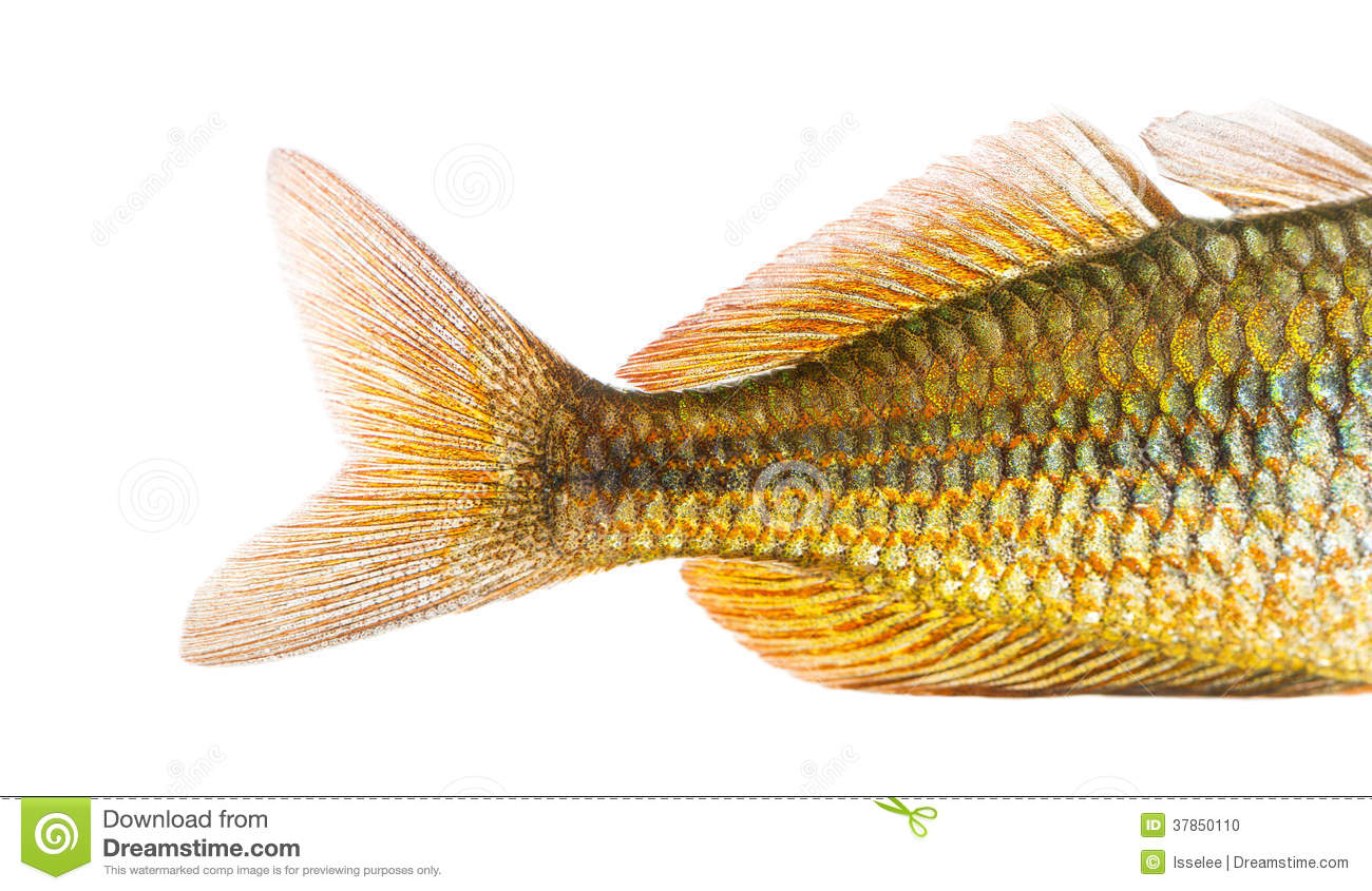 Close-up Of An Eastern Rainbowfishs Caudal Fin Stock Photo - Image ...