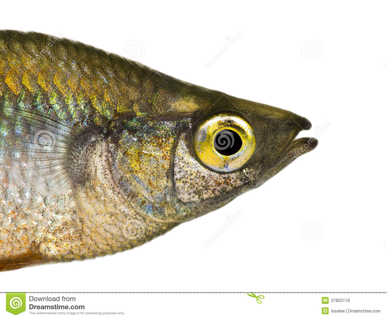 Close-up Of An Eastern Rainbowfishs Profile Royalty Free Stock Images ...