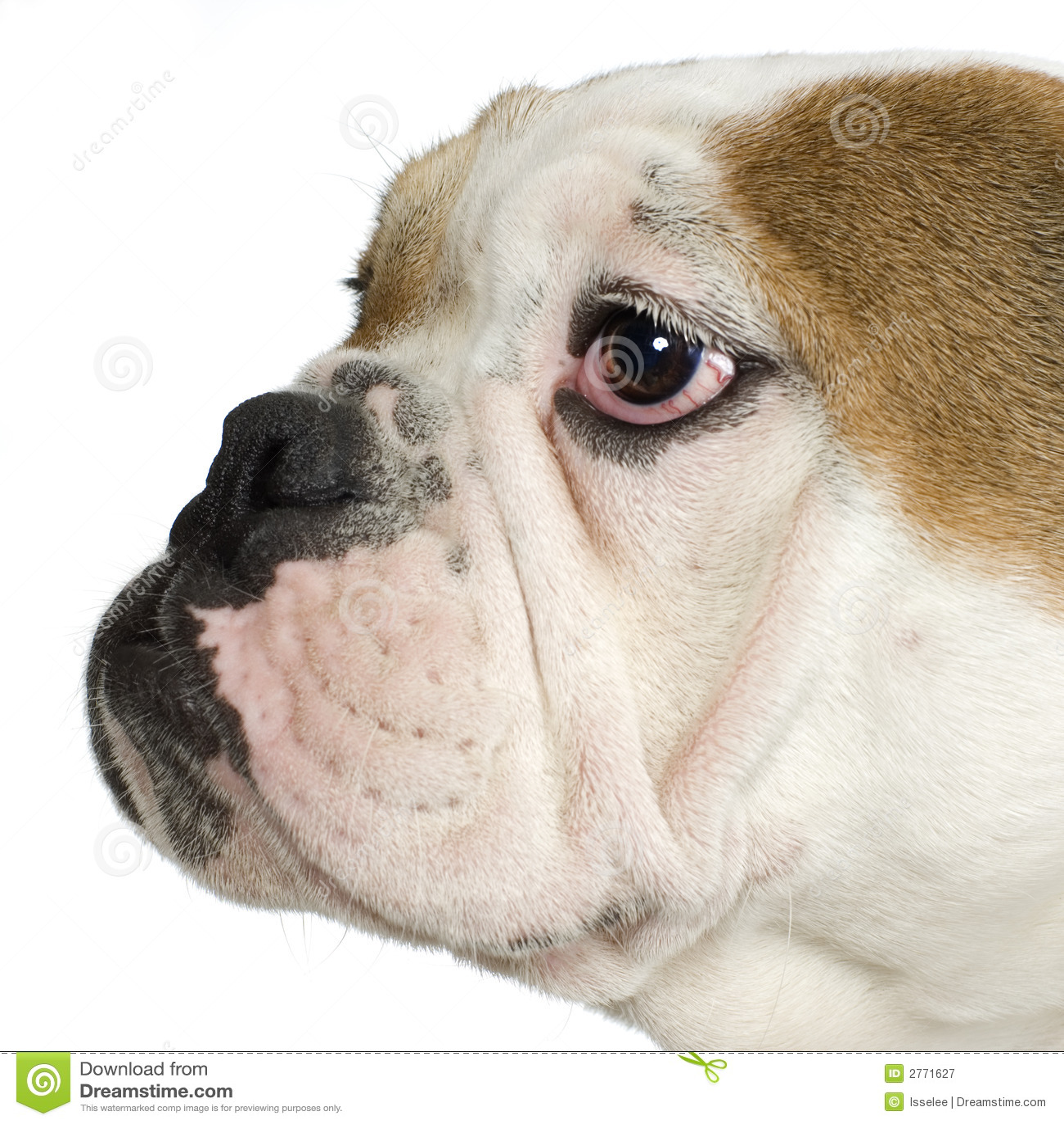 Close-up on a english Bulldog