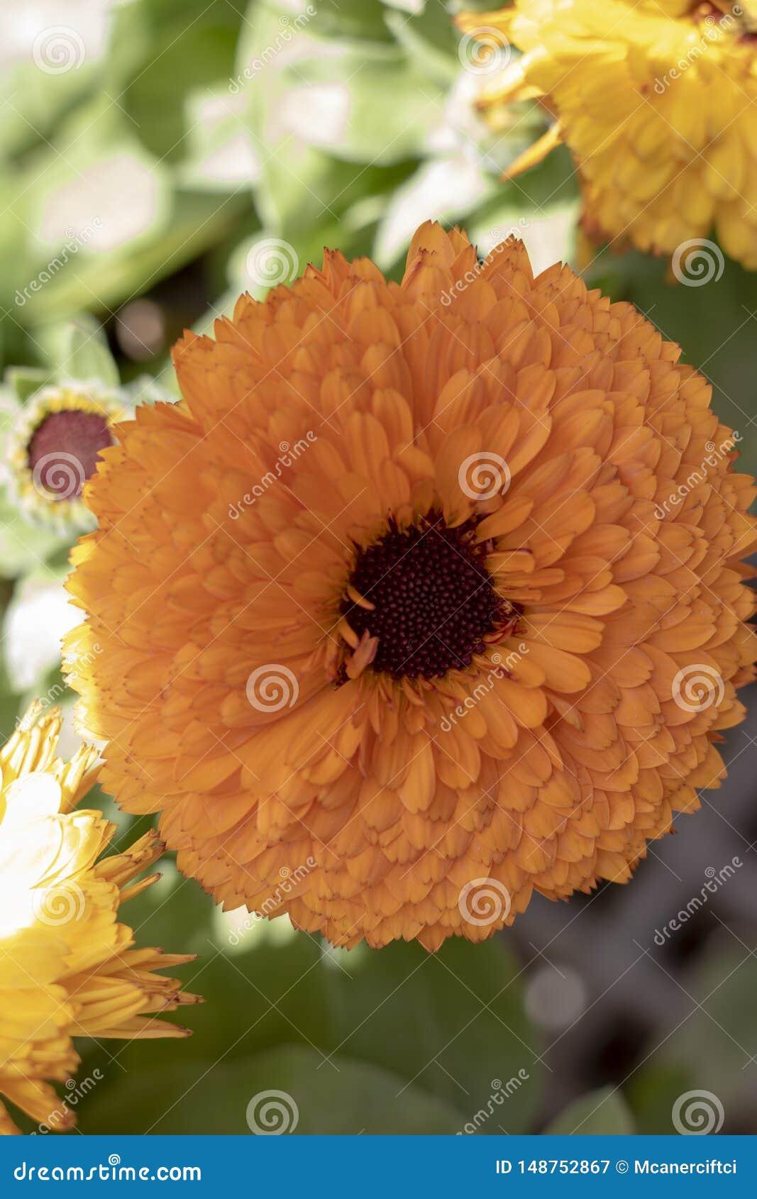 close up of english marigold flower.