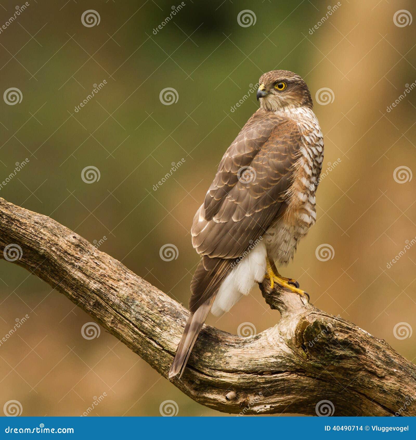 Close-up Eurasian sparrowhawk