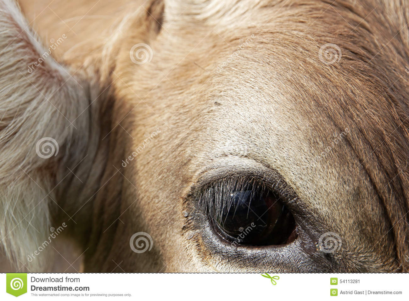 Close Up Of The Eye Of A Young Cow Stock Image Image Of Eyes
