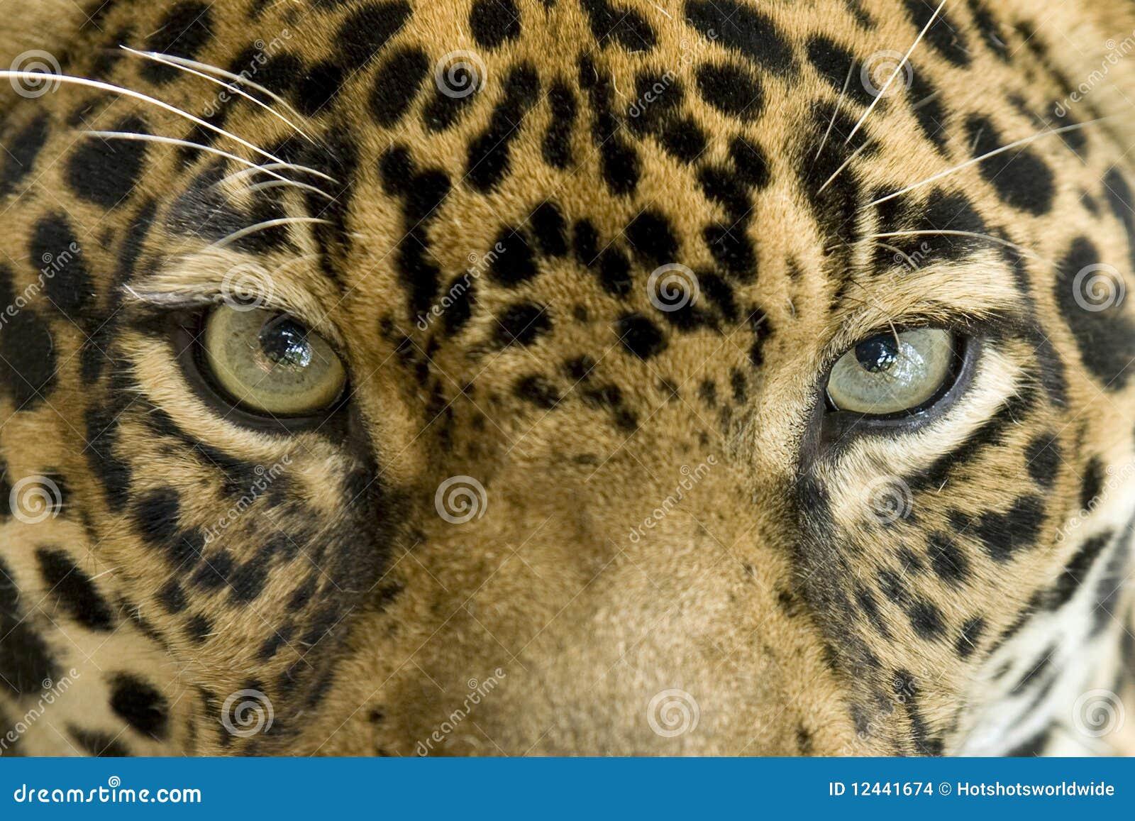 Close up of magnificent big cat jaguar or panthera onca eyes staring ...