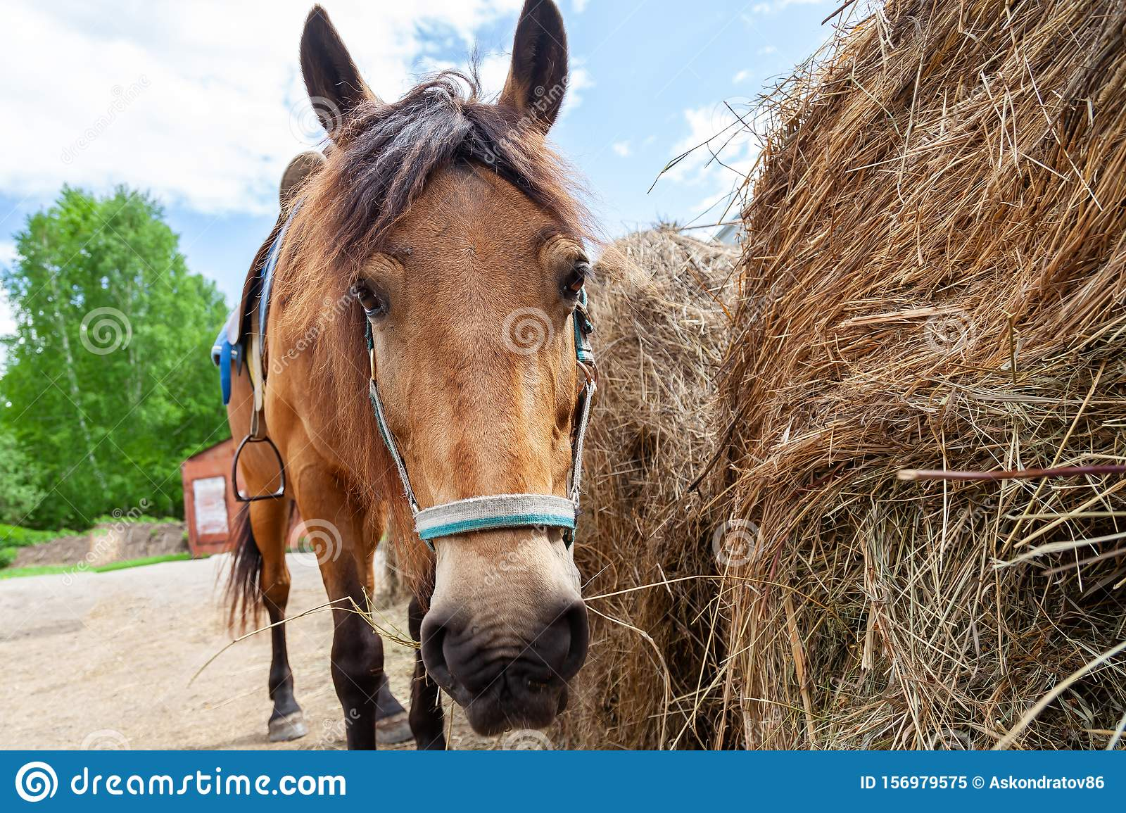 Close up face of A arabian horse with a saddle on his back bowed his head and eats hay from a dry stack