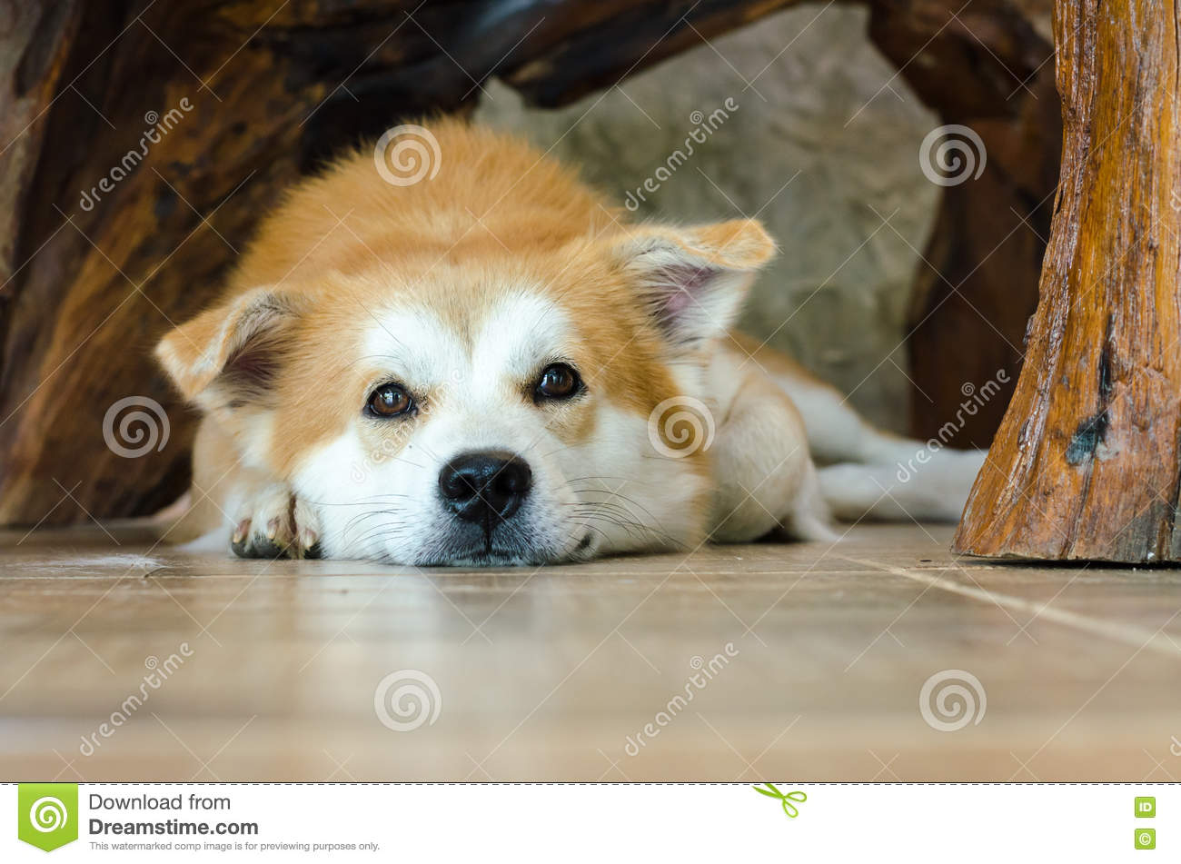 Download Close-up Face Of Cute Brown Dog Lying On Floor Stock Photo - Image of floor, dreams: 80007070