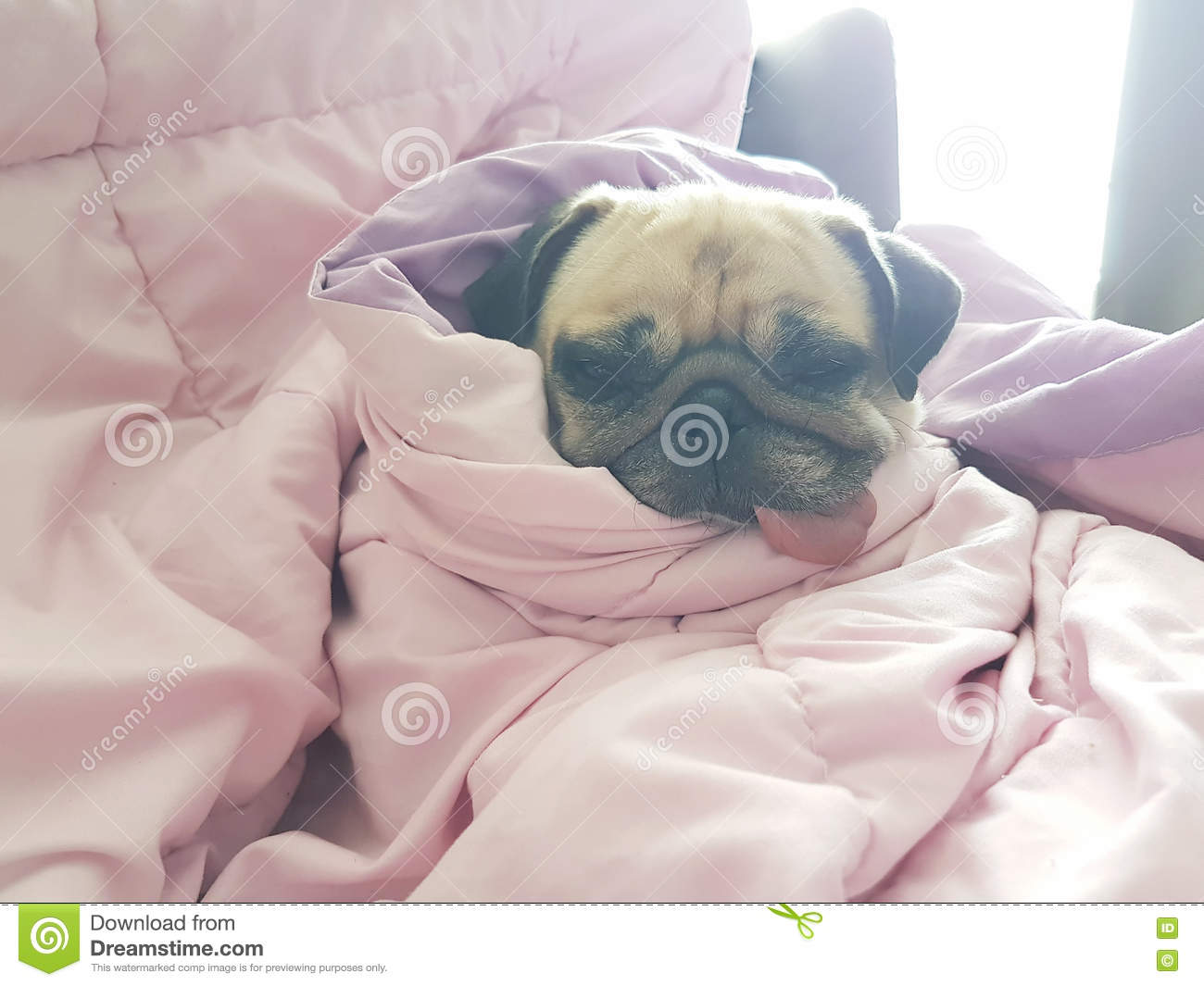 Close Up Face Of Cute Dog Puppy Pug Sleep Rest On Sofa Bed With Stock Image Image Of Head Funny 75701091