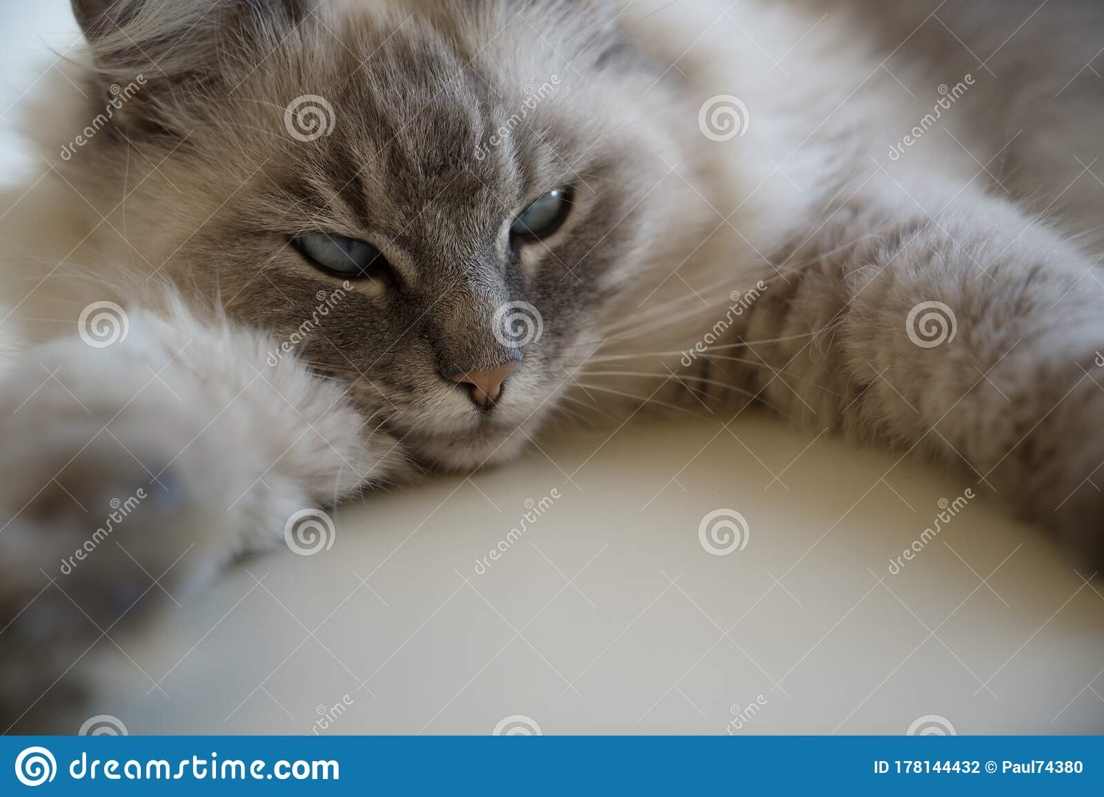 Close Up Of The Face Of Lynx Point Ragdoll Cat With Blue Green Eyes Stock Photo Image Of Beautiful Enjoying 178144432