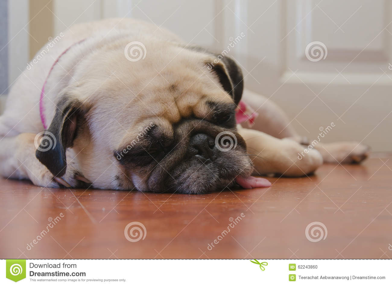 Cute Pug Puppy Face Stock Photography