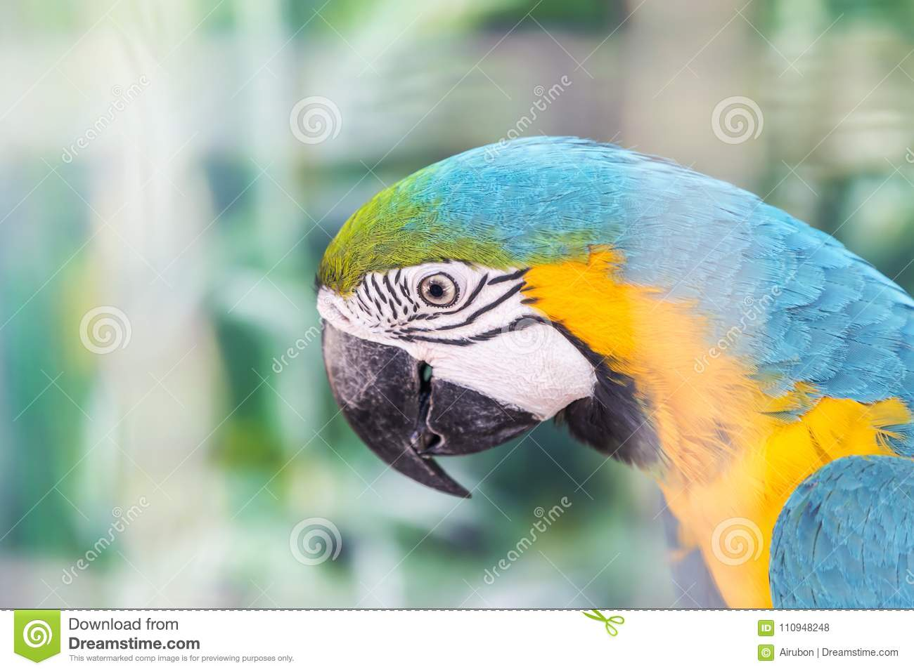 Close up face head of blue and yellow macaw or blue and gold macaw bird