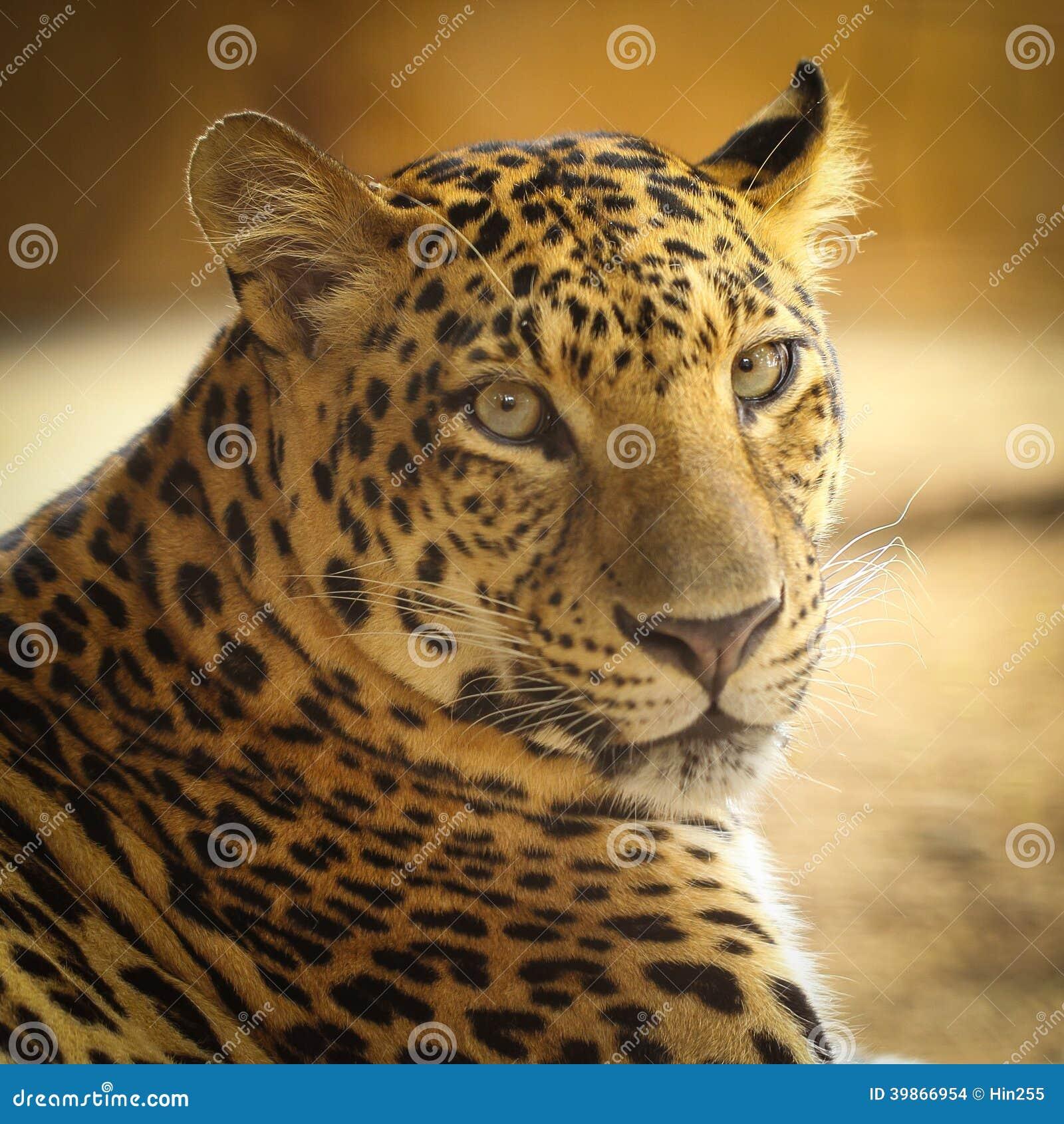 Jaguar Face: Close Up Face Of Jaguar Animal Stock Photo