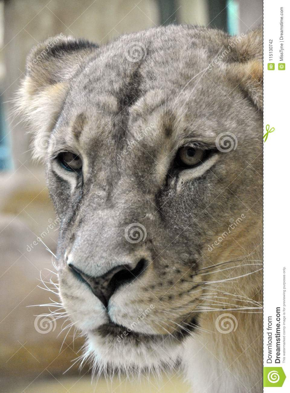 Close-up of a face of a lioness