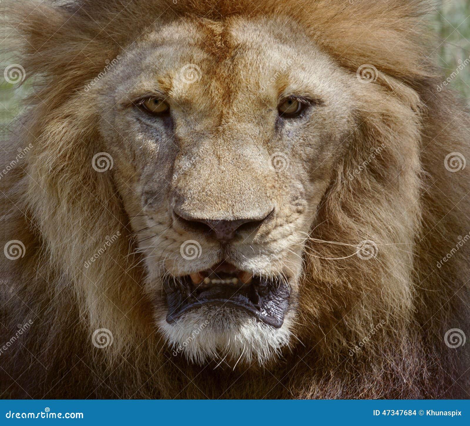 8k Animal Wallpaper Download: Close Up Face Of Male Lion Dangerous African Safari