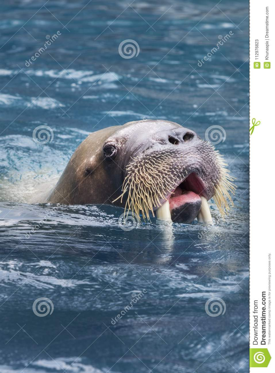 Close up face of male walrus swimming in deep sea water