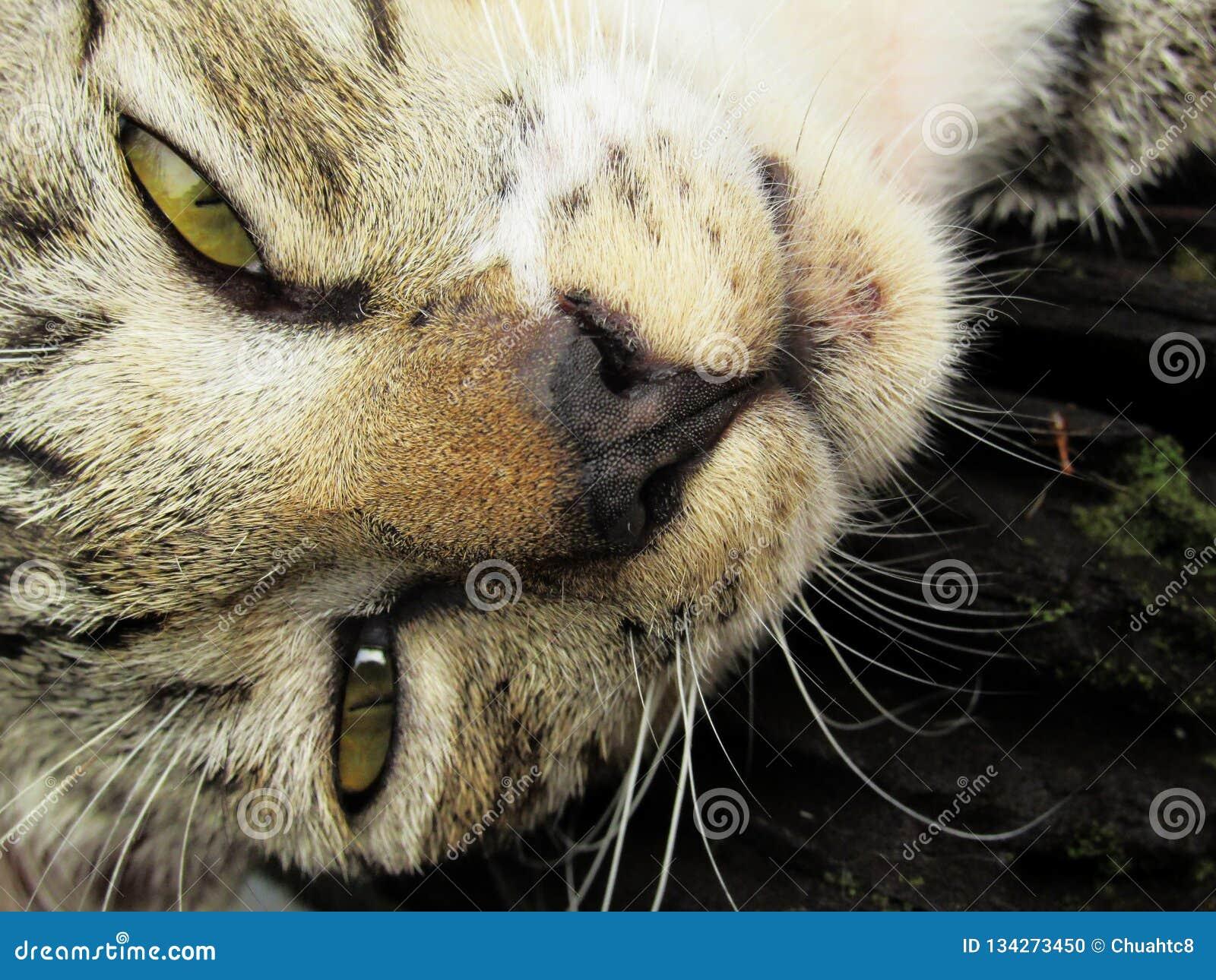 Sleepy Tabby Cat Up Close