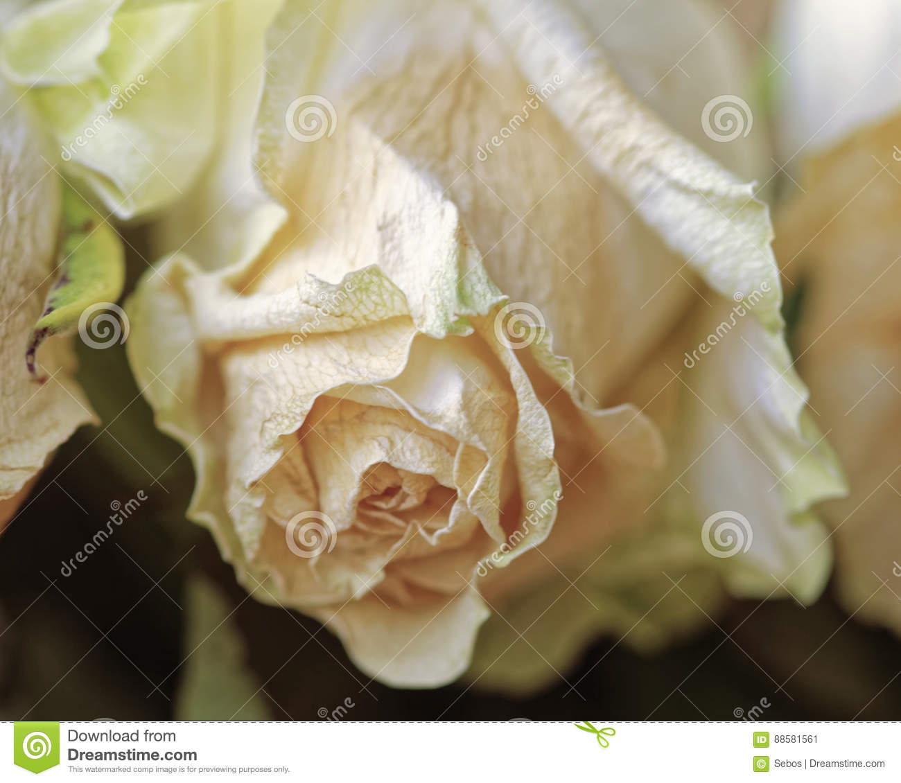 Close Up Of Faded Dry White Rose Withered Flowers Tinted Photo