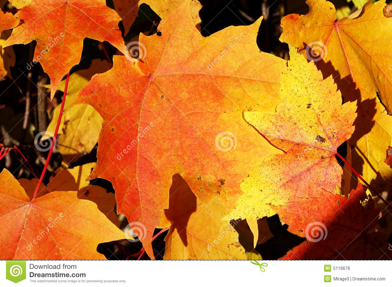 Close-up Of Fall Colored Maple Tree Leaves Stock Photo ...