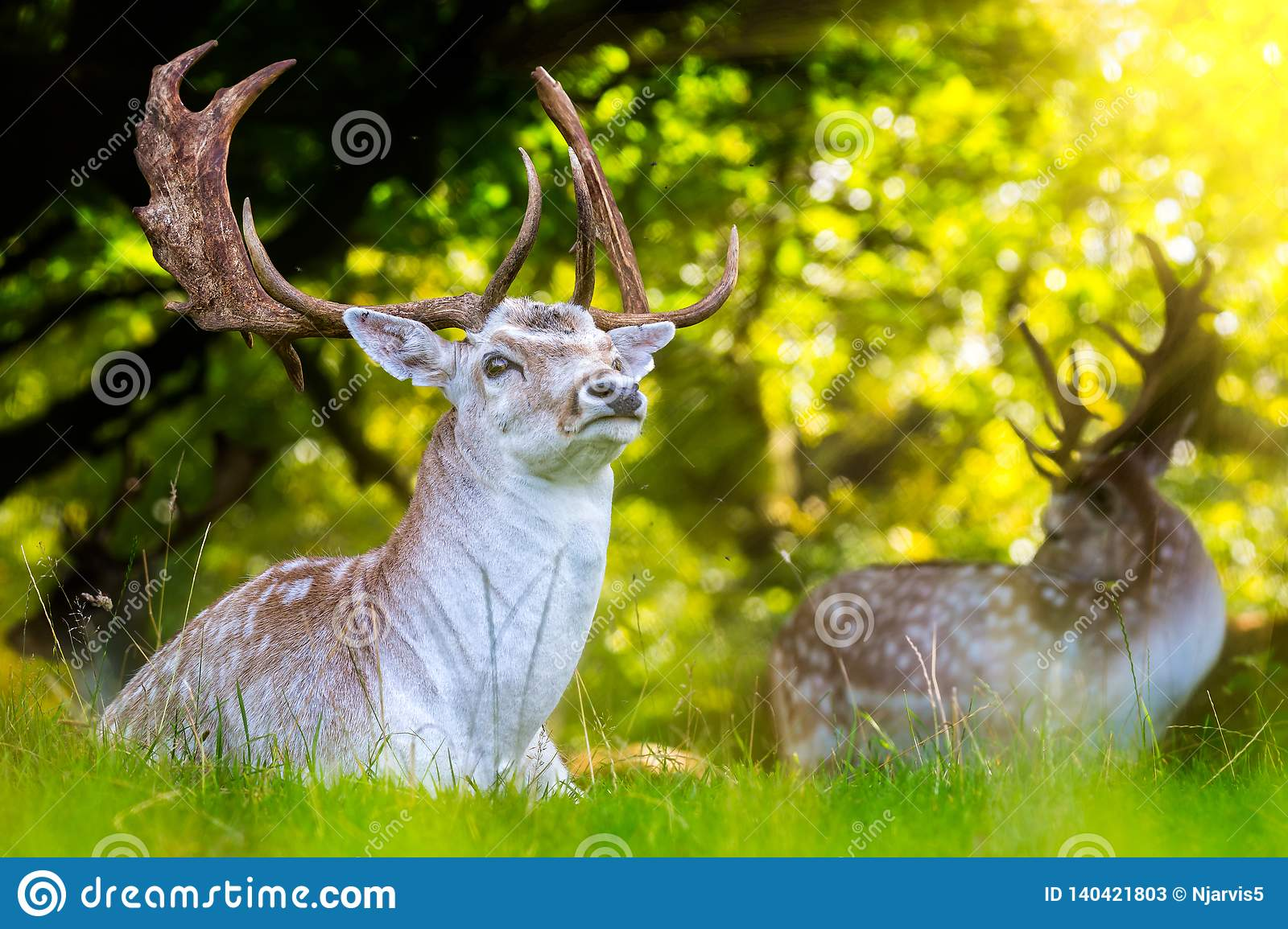 Close up of Fallow Deer with impressive antlers