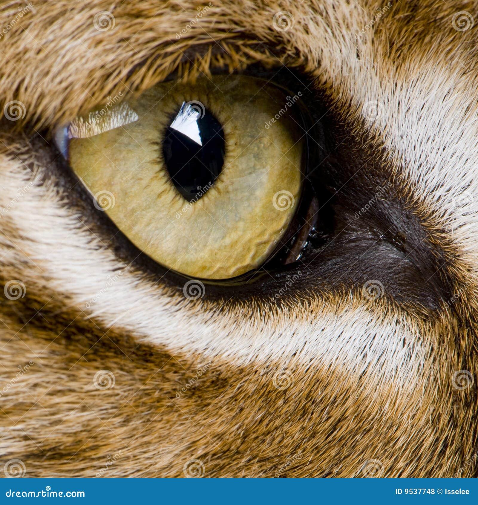 Download Close-up On A Feline' Eye - Eurasian Lynx Stock Photo - Image of background, animal: 9537748