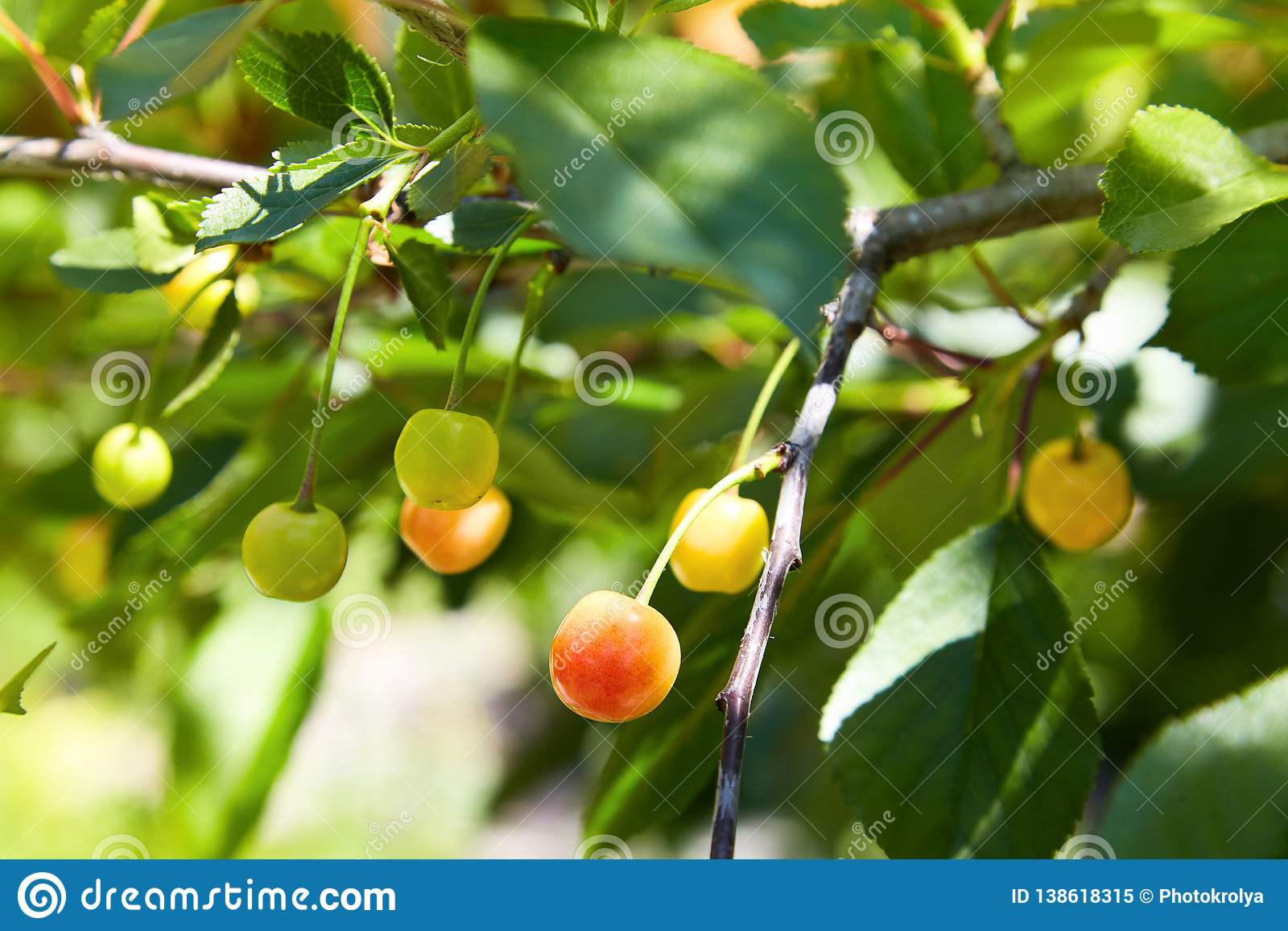 Close-up of a few cherries hanging from a branch with green leaves in the garden.