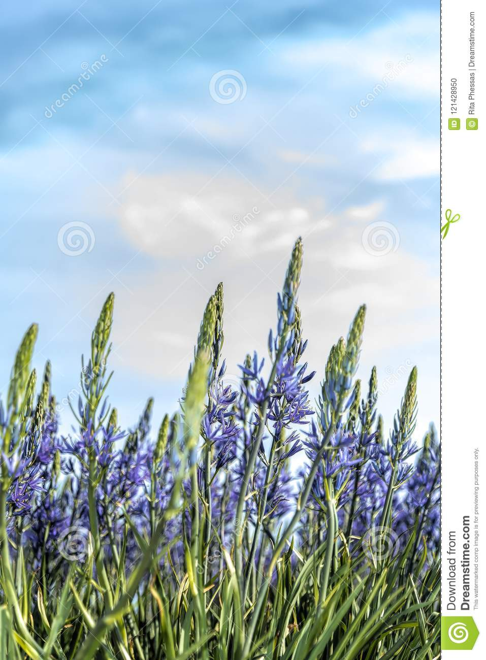close up of a field of blue flowers against a background of a soft