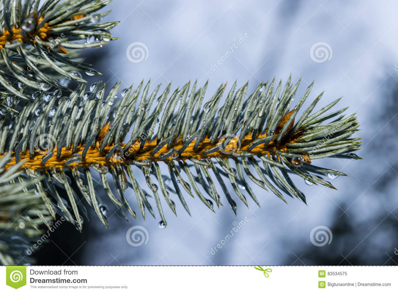 Close up of fir branch with drops of water