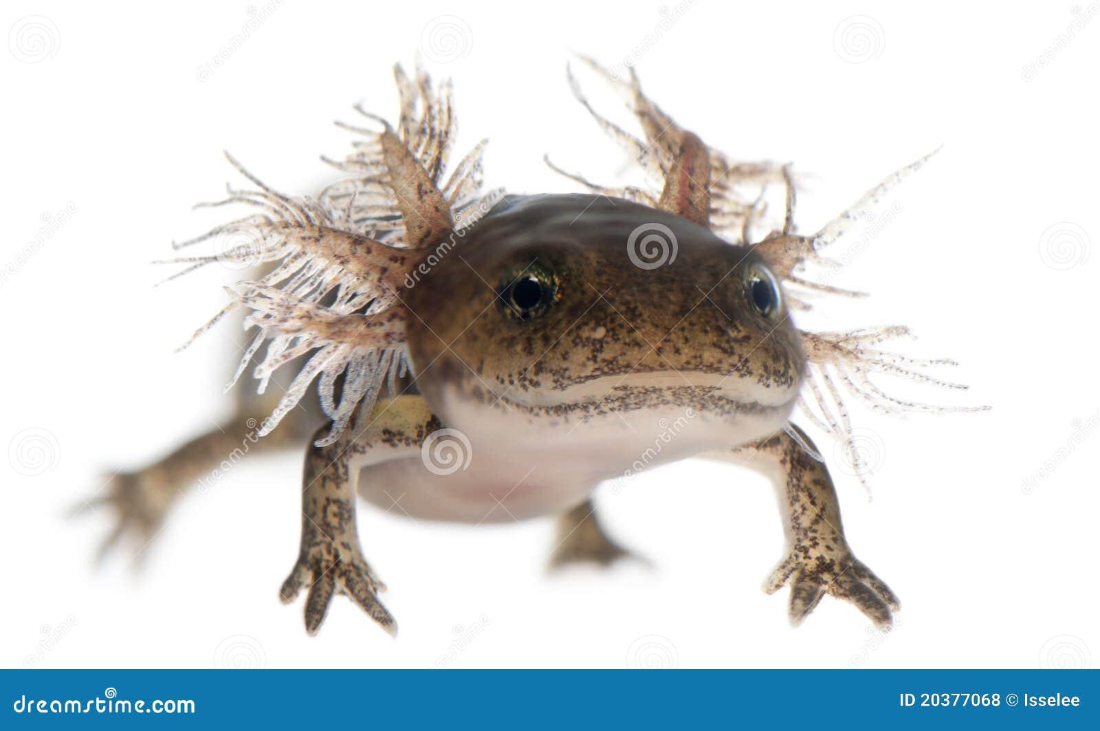 Close-up Of Fire Salamander Larva Royalty Free Stock Photos - Image ...