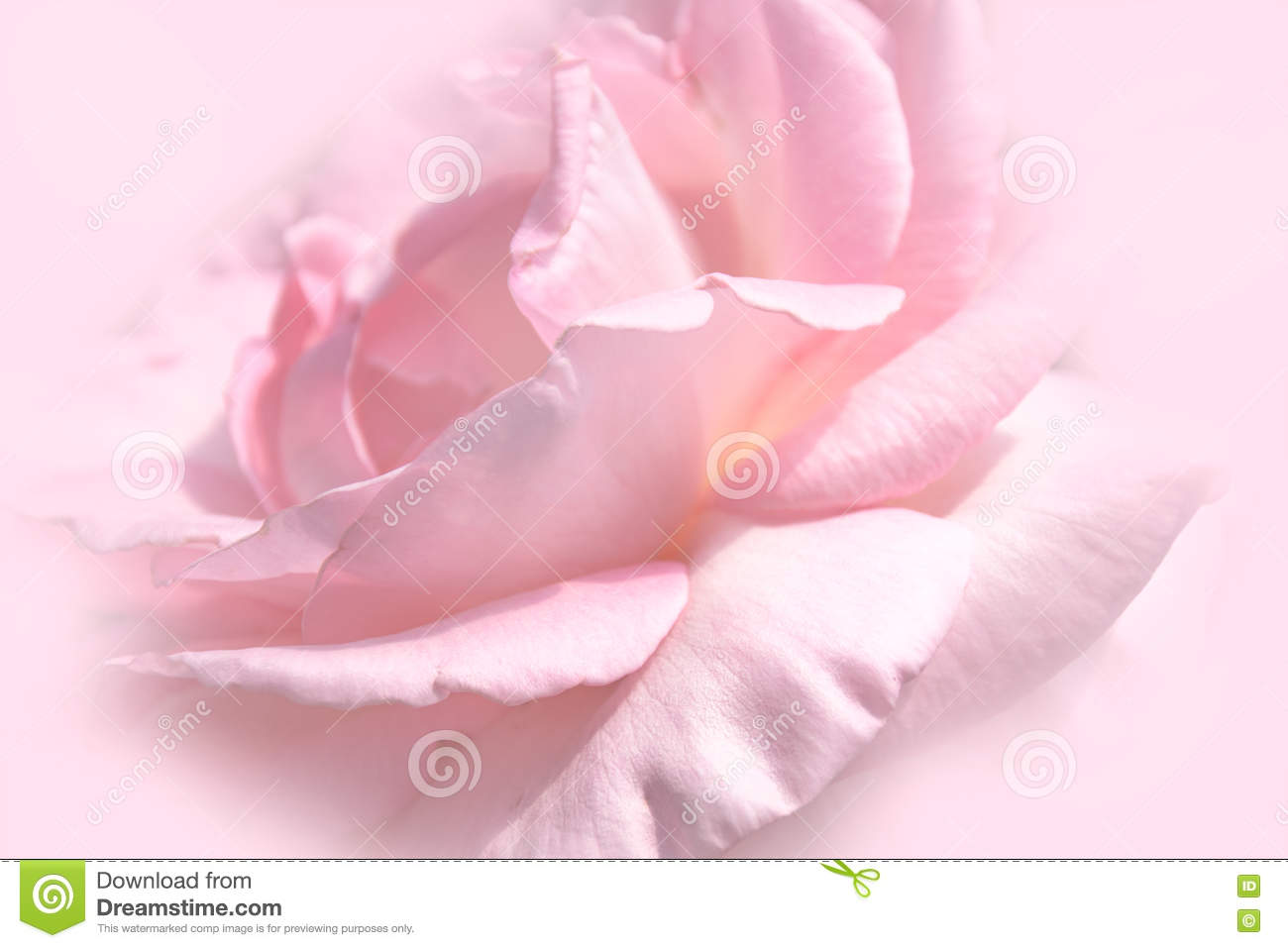 Wall Paper Wide Pink Rose Colours Soft Nature Flower: Sweet Pink Rose (soft Light Style) For Background Stock