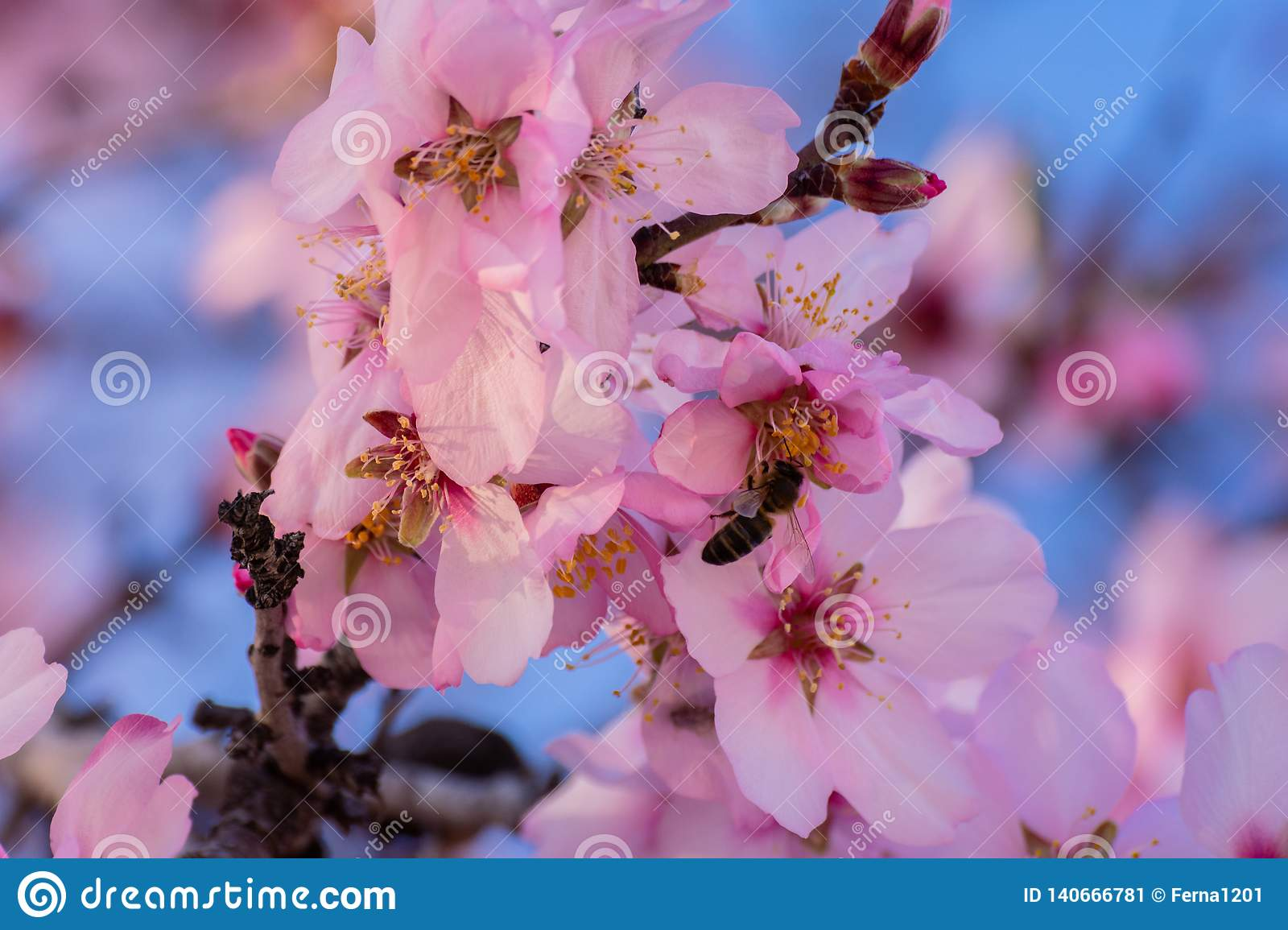 Close up of flowering almond trees. Beautiful almond blossom on the branches. Spring almond tree and pink flowers with branch and