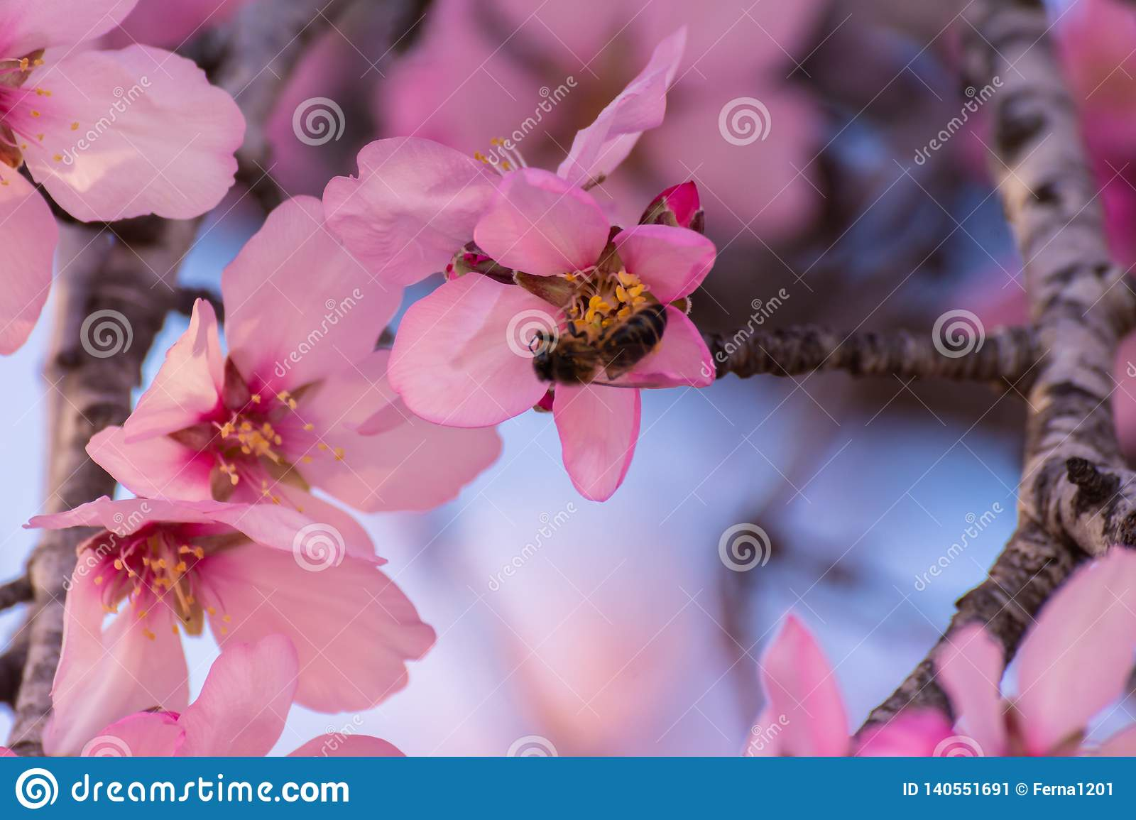 Close up of flowering almond trees. Beautiful almond blossom on the branches, at springtime background in Valencia, Spain, Europe