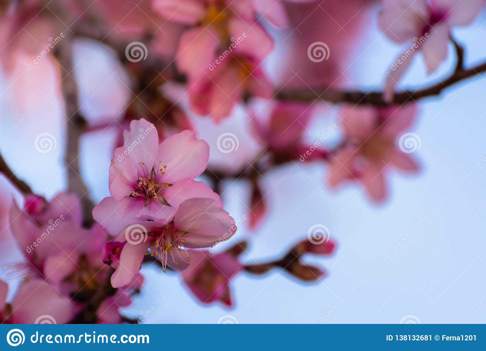 Close up of flowering almond trees. Beautiful almond flower blossom, at springtime background. Beautiful nature scene. Spring