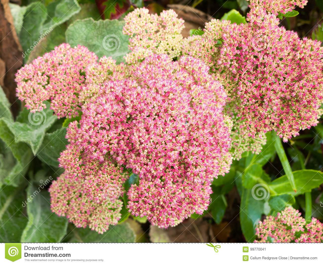 Close Up Of Flowering Pink Shrub Many Small Flowers Stock Image