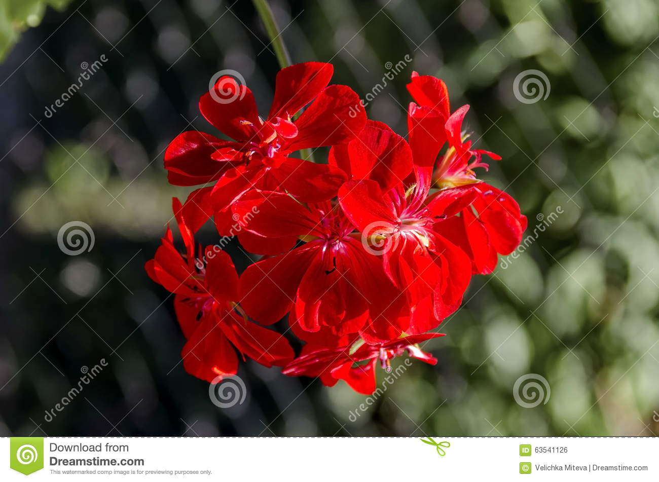 Close up flowering red geranium cascade flowers in the twig