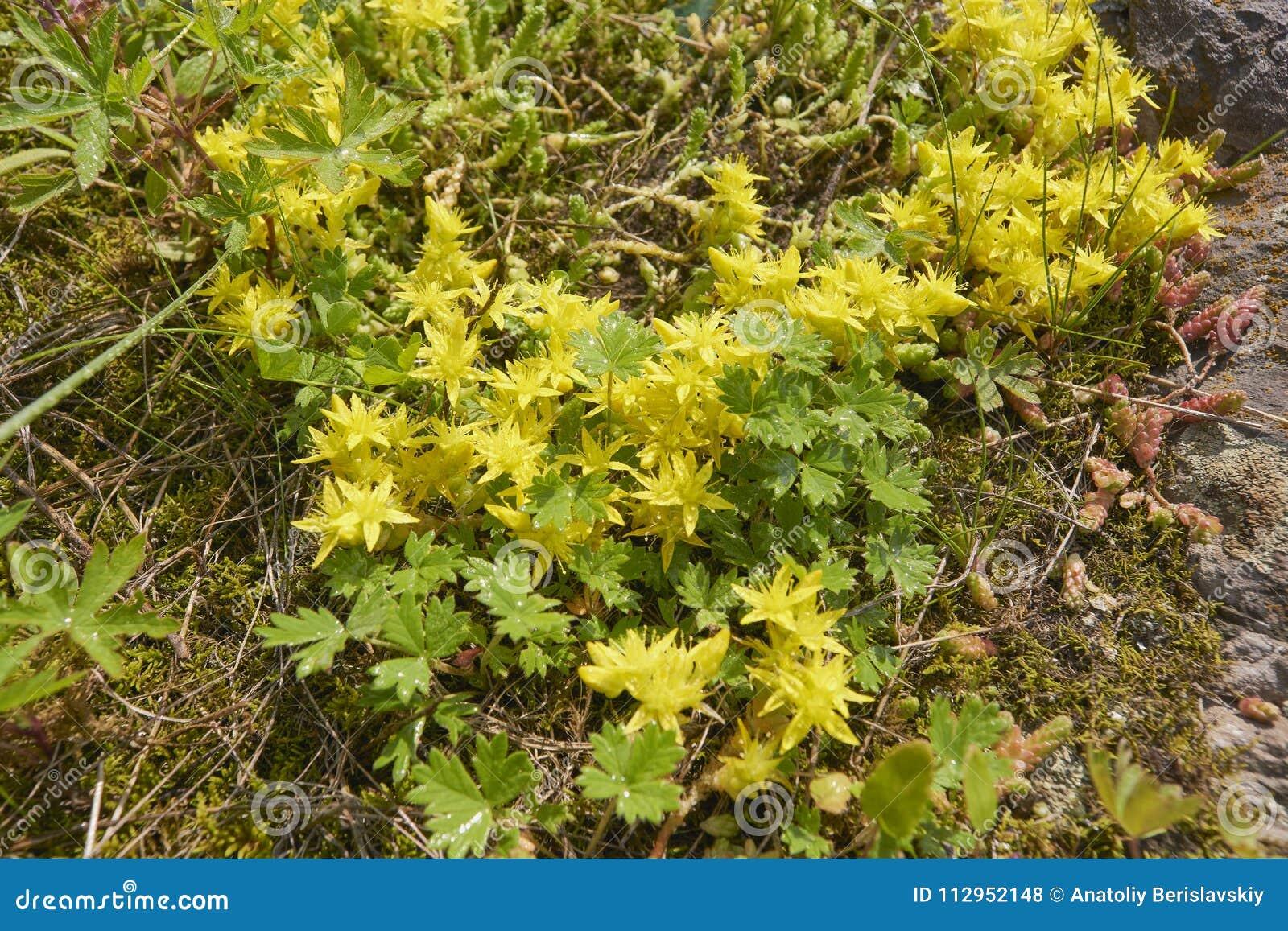 Close Up Flowering Sedum Acre Plant Stock Photo Image Of Europe