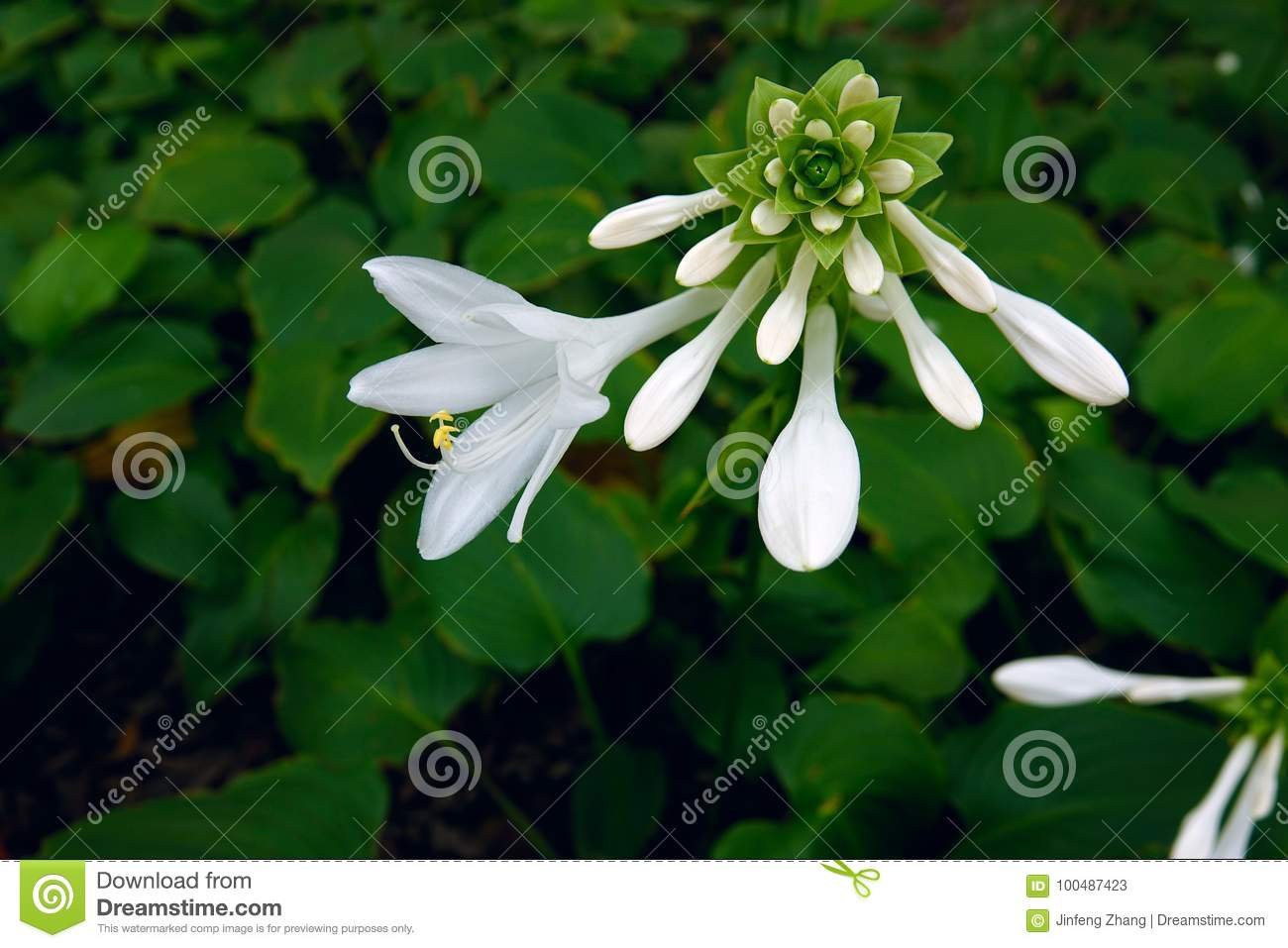 Fragrant plantain lily stock image image of liliaceae 100487423 fragrant plantain lily izmirmasajfo