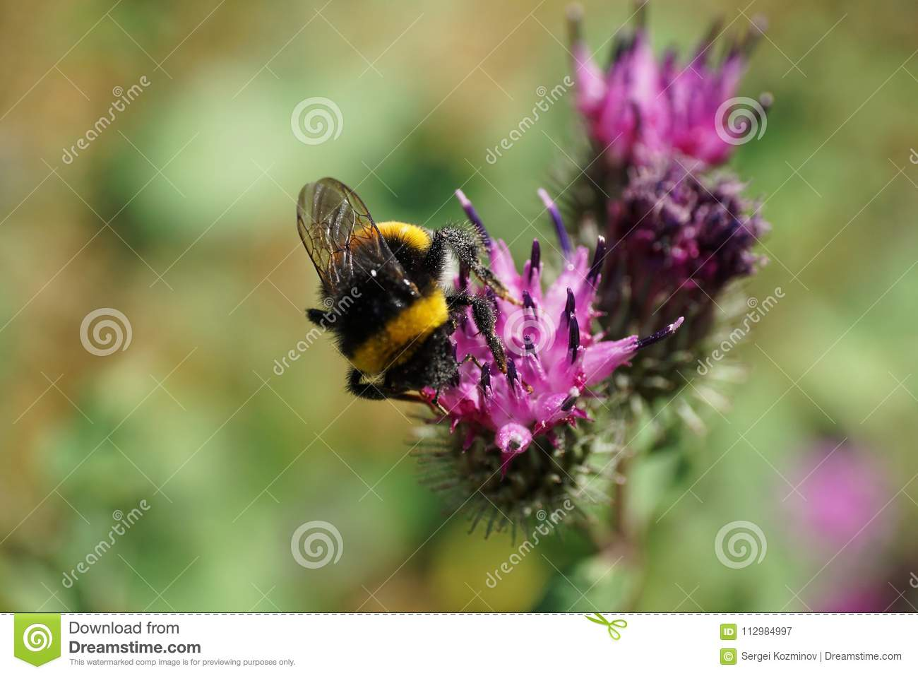 Close-up of fluffy striped bumblebee Bombus lucorum seated and collecting pollen