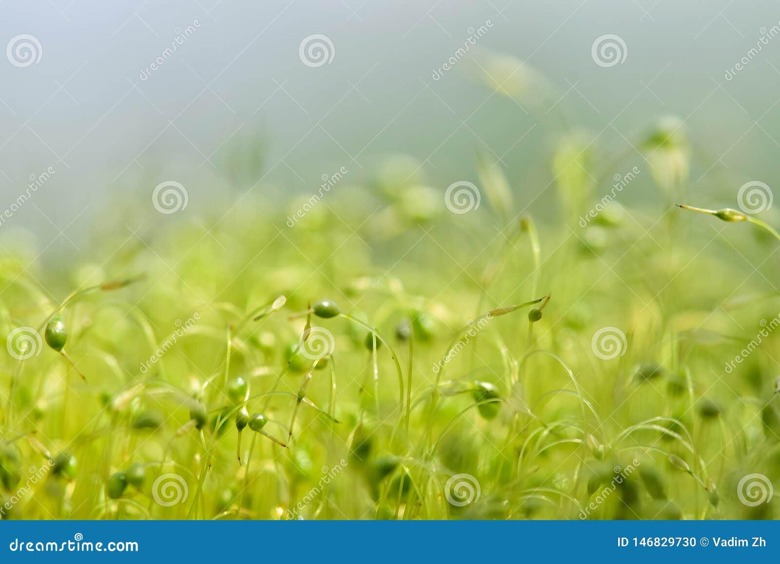 Close-up focalizado macio disparado de sementes verdes do musgo com bokeh, luz de brilho borrada
