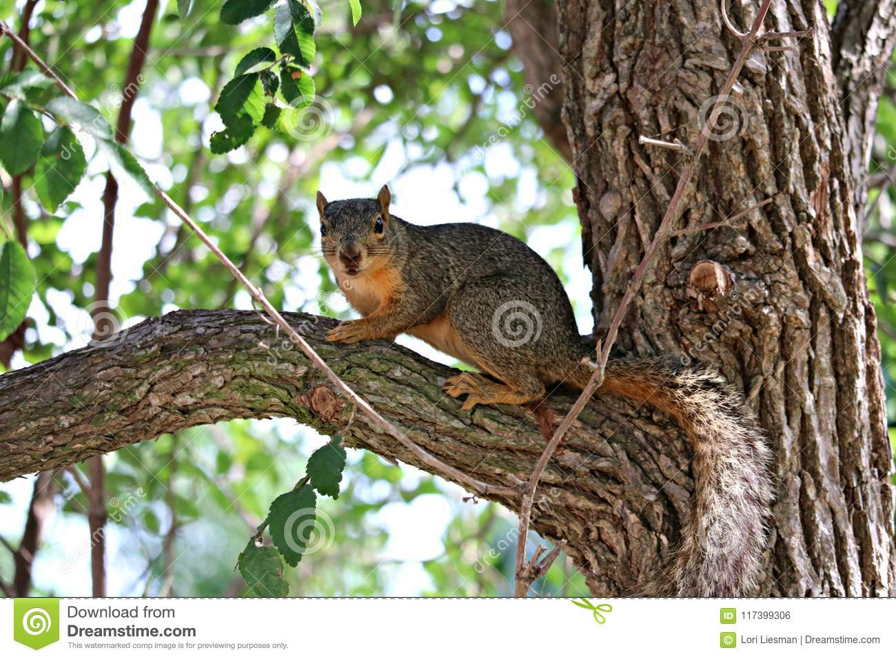 A close up of fox squirrel standing on a limb in a large oak tree.