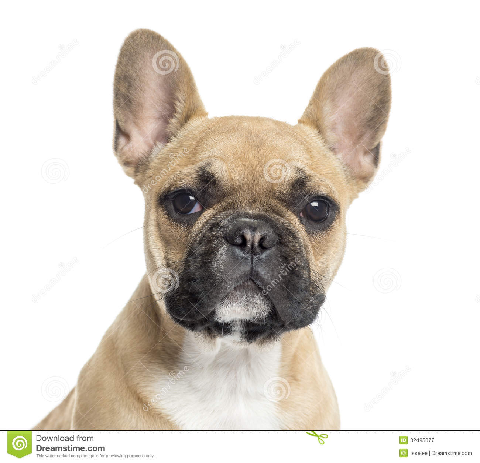 Close up of a French Bulldog puppy looking at the camera