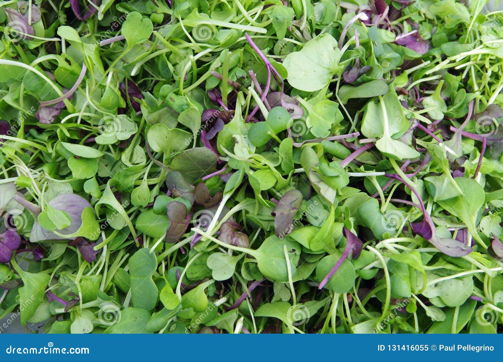 Close up fresco da salada dos microgreens do jardim