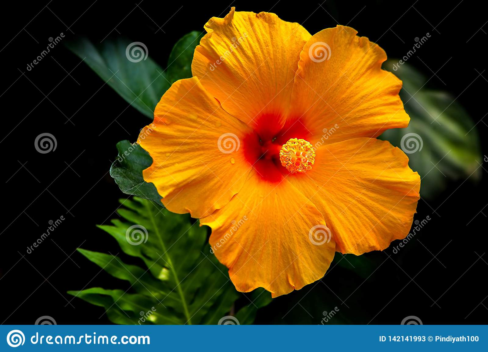 Beautiful And Bright Chinese Hibiscus Flower Stock Image - Image of